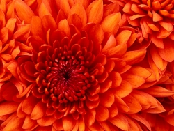 Chrysanthemum - 1024 x 768