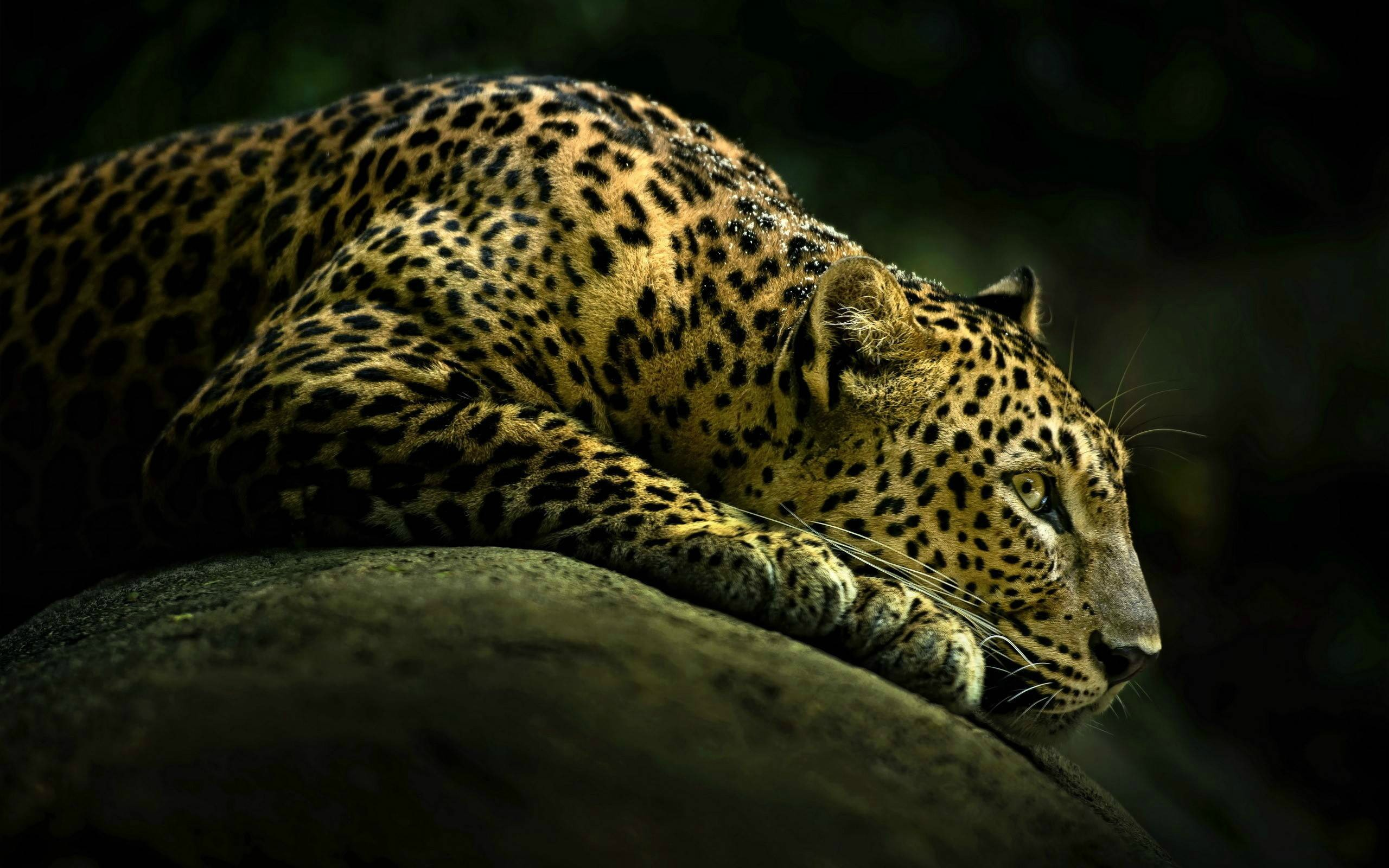 Ягуар хищник взгляд камни  № 3657950 бесплатно