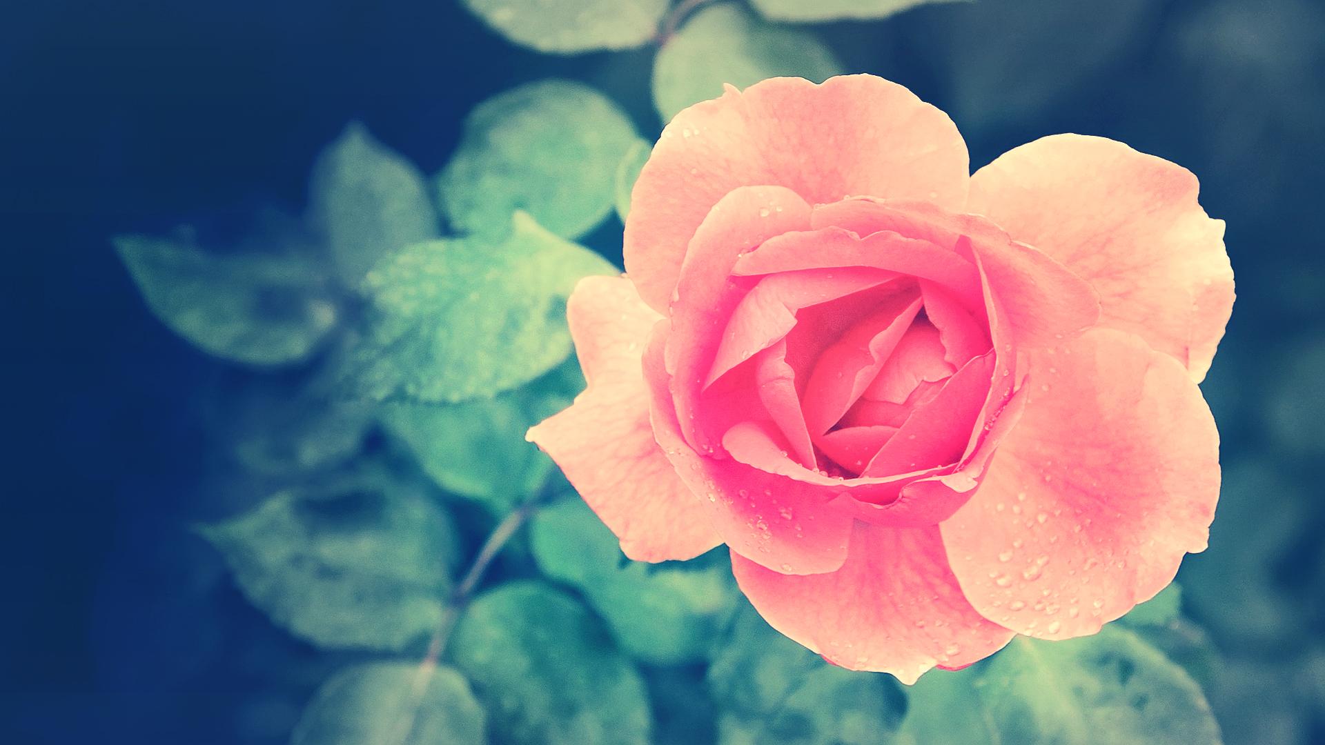 роза,лепестки,листья  № 705571 загрузить