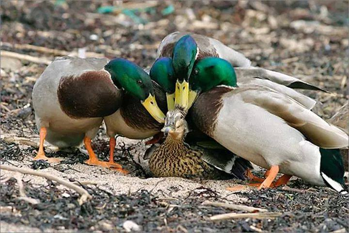 Duck Farming  Modern Farming Methods