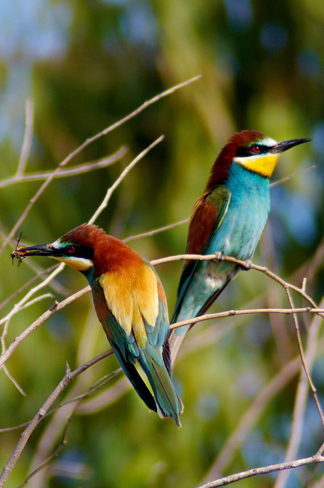 Arı Kuşu (Meropidae)