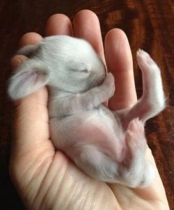 yeni doğmuş tavşan